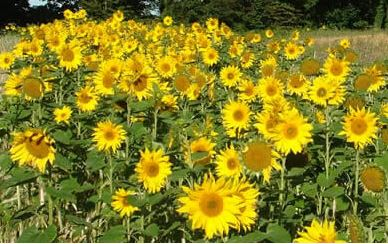 Flowers, like a crowd of little suns, in Hastings Country Park